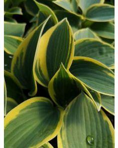 Poppy Parcels Buy Premium Irish Perennial Plants Online, Delivered Nationwide. Poppy Parcels Online Garden Centre Garden Centre, Agapanthus, Plants Online, Garden Plants, Perennials, Poppy, Plant Leaves, Irish, Flowers