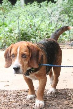 ADOPTED>NAME: Mr. Beagle  ANIMAL ID: 16748957  BREED: beagle  SEX: male (altered)  EST. AGE: 7 yr  Est Weight: 27 lbs  Health: heartworm neg- dental disease  Temperament: dog friendly, people friendly.  ADDITIONAL INFO: RESCUE PULL FEE: $35  Intake date: 5/5  Available: 5/11