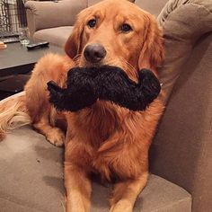 I mustache you a question #welovegoldens  Get this toy @barkbox and get 10% off with GOLDENRETRIEVERS by goldenretrievers_