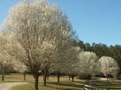 The Grumpy Gardener: Let's Ban These Stinking Trees! ~~ I knew I wasn't the only one who couldn't stand the smell!
