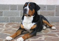 Great Swiss mountain dog- look just like my Charlie!