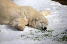 Pike, a 30 year old Polar Bear given 10 tons of snow for his birthday.