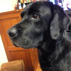 #アレスタグラム  #犬 #イヌ #いぬ #ラブラドールレトリーバー #ラブラドールレトリバー #ラブラドール #labrador #LabradorRetriever #Labrador_Retriever #dog #レトリバー #レトリーバー #Retriever #黒ラブ #blacklab #lab #愛犬 #わんこ #ワンコ #mydog #chien #狗 #개 #래브라도리트리버 #黒ラ部 # #LoveLab #perro #cão