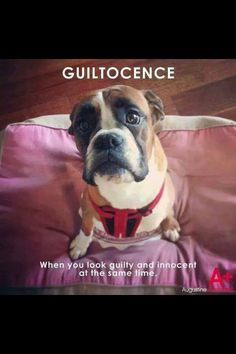 Boxer guiltocence: when you look guilty and innocent at the same time