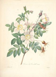 gravures de fleurs par Redoute - Gravures de fleurs par Redoute 152 rosier de…