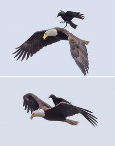 Cuervos Divertidos