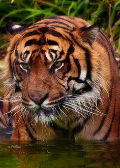 Playful Tiger - http://www.1pic4u.com/blog/2015/01/12/playful-tiger/