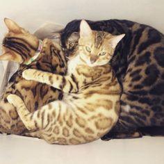 É a dança do maxixe, a dança do maxixe, um gato no meio de duas gatas fazendo sanduíche 😂😂😂😂 . . E aí? Qual a sua cor preferida??? . . . #bengal #cat #maringa #gatobengal #gatodebengala #gatosdoinstagram #catstagram #cats #gatosdeinstagram #gato #gatos #kittens #lovekittens #kittenoftheday #ilovecats #euamogatos #funny #pet #instapet #petstagram #pets #petsagram #pets_of_instagram