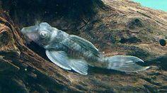 Very Rare L70 Hypancistrus Zombie Pleco Catfish Tropical Fish UK P