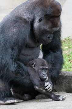 Father Love: Shabani & Annie, Higashiyama Zoo Animals And Pets, Baby Animals, Cute Animals, Primates, Beautiful Creatures, Animals Beautiful, Types Of Monkeys, Baby Gorillas, Animal Kingdom