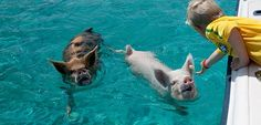 pigs swimming bahamas - Google Search