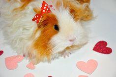 valentine's+guinea+pig | Guinea pig | cute animals