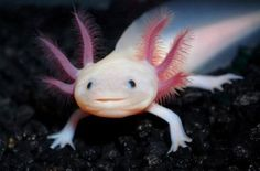 This is interesting:   Axolotl .   Endangered species   (9 photos )