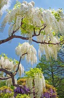 Beautiful White Wisteria Flowers