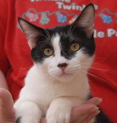 Lucius is a baby boy trying to learn all he can, so you'll often find him at your side studying your behavior and habits.  He is a super cute shorthair kitten, about 6 months of age, now neutered and ready for adoption at Nevada SPCA (www.nevadaspca.org).  Lucius gets along very well with other cats too.  Please visit and ask for him by name.