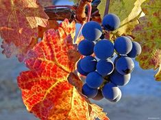 promise of a rich harvest Autumn Scenes, Indian Summer, Fall Harvest, Four Seasons, Autumn Leaves, Vines, Berries, Fruit, Halloween