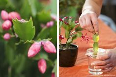 Christmas cactus: how to care for it? - How to make a Christmas cactus bloom again? Successfully cut the Christmas cactus by immersing a br - Air Plants, Indoor Plants, Cactus House Plants, Cactus Planta, Garden Online, Gardening Magazines, Home Flowers, Christmas Cactus, Garden Care