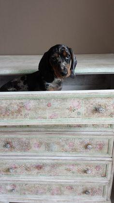 bassotto dentro un cassetto decorato con lavorazione a decoupage con carta fiorita invecchiata