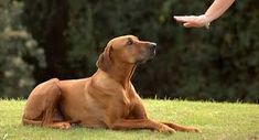 "<div style=""text-align: center;""><strong>Working with your dog to obeying your commands opens up a line of communication between you and your dog. Consistently communicate with your dog what you want it to do and reward it when he listens to you.</strong></div> Best Dog Training Books, Dog Training School, Dog Training Courses, Dog Training Methods, Training Your Dog, Brain Training, Stop Dog Barking, Dog Shock Collar, Dog Training"