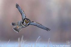 Hawk Owl by Jari Peltomäki