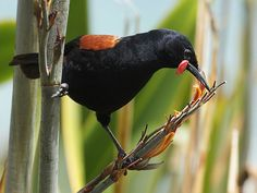 "Saddleback (Philesturnus carunculatus): Beautiful Wildlife Photography - ""beautiful wildlife photography: Saddleback (Philesturnus carunculatus) Image by David Cook Wildlife Photography (kookr) Tiritiri Matangi Island, Auckland Province, North I Bird On Branch, Beautiful Forest, Forest House, Sea Birds, South Island, Flora And Fauna, Wildlife Photography, Conservation, New Zealand"