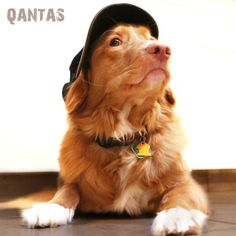 "Qantas: Nova Scotia Duck Toller. ""NO"" I am not going to look at the camera."