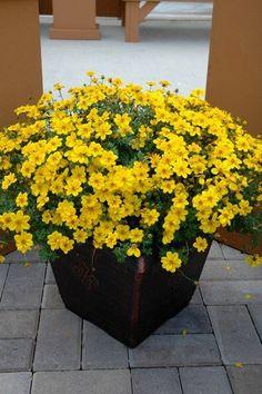 Bidens 'Yellow Sunshine' - full sun, good trailing plant for spilling over container edges.