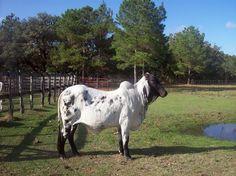 Texas Longhorn Bull Relatedcul Keywords & Suggestions - Texas Longhorn Bull Long Tail Keywords