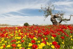 Come si può non avere rispetto per la #natura e le sue meraviglie, ma soprattutto per la nostra stessa terra?  Questo mese di #Aprile dedichiamo la copertina con un pensiero a #Melendugno e a tutti i manifestanti che stanno cercando di proteggere quel territorio dalle barbarie dell'uomo. #NoTap #Lecce #PaesaggiDiPuglia #Aprile2017 #Puglia #Ulivi #SalviamoGliUlivi