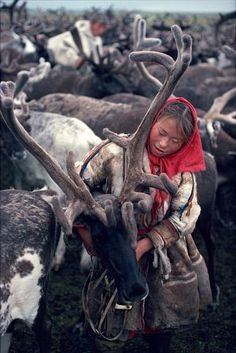 Young Nenets woman harnesses draft reindeer in the corral Yamal. Siberia. Russia.