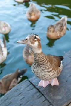 Ringed Teal female