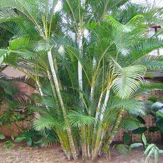 Palmeira Areca Bambu  (Dypsis lutescens)