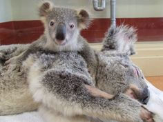 Cute Baby Koala | Baby Koala And Mother | CuteStuff.co - Cute Animals, Cute Pictures ...
