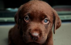 Cutest doggy ever.  Chocolate lab.