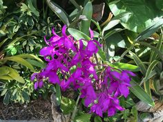 A beautiful Cattleya Orchid 14/4/17 - first flowering for me ~