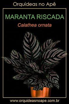 Calathea Plant, Garden Art, Home And Garden, Cactus Y Suculentas, House Plants, Succulents, Exterior, Green, Flowers