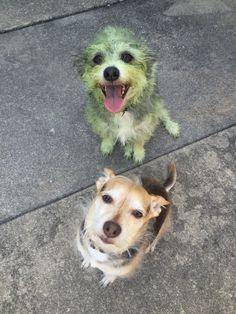 Lequel des deux chiens à aider à tondre la pelouse ?