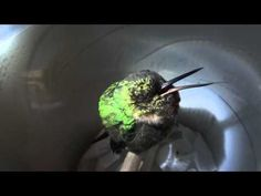 Cute Snoring Hummingbird