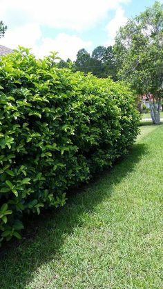 Viburnum Odoratissimum - Excellent Hedge Plant