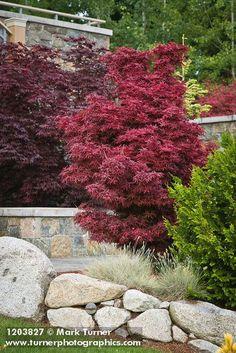 1203827 Japanese Maples behind low stone walls [Acer palmatum cvs.]. Jim Swift, Bellingham, WA. © Mark Turner