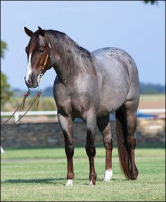 Mr Boonsmal To You_gorgeous blue roan quarter horse stallion!!!