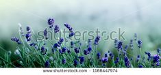 Beautiful Lavender flowers at early morning background . Purple growing Lavender in nature on toned turquoise and blue background close-up Growing Lavender, Lavender Flowers, Flower Backgrounds, Bloom, Stock Photos, Early Morning, Purple, Nature, Plants