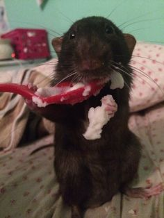 Cute rat eating mashed potatoes