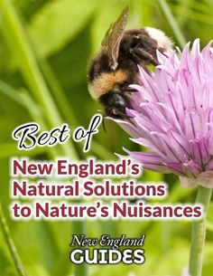 Best of New England Natural Solutions to Nature's Nuisances: Flea Bite, Tick Bite, Bee Sting, Wasp Sting, Poison Oak & Poison Ivy Home Remedies Peony Care Tips, Poison Ivy Home Remedies, Cyclamen Care, Lady Slipper Flower, Growing Ginger Indoors, Wasp Stings, Poison Oak, Hydrangea Care, Hydrangeas