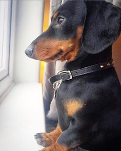 "Acquire great tips on ""dachshund pups"". Funny Dachshund, Dachshund Puppies, Dachshund Love, Cute Dogs And Puppies, Daschund, Weenie Dogs, Doggies, Beautiful Dogs, Cute Baby Animals"