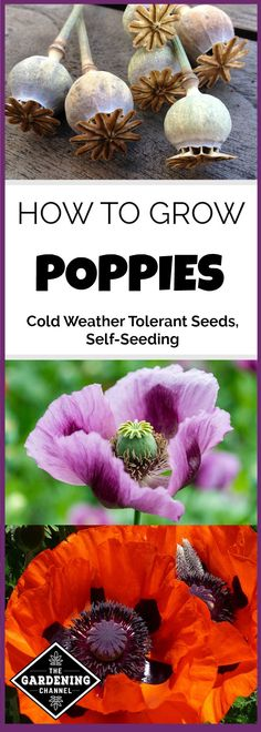 Learn how to grow poppies in your garden for an elegant flowers with the perseverance of a wildflowers, as they will self-seed if allowed. Poppy seeds are cold weather tolerant for fall or early spring planting.