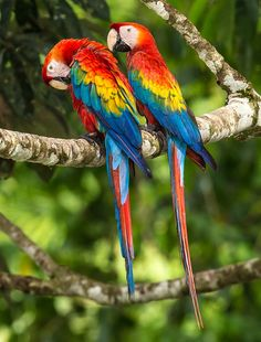 Scarlet macaw couple by Zoltan Szabo on 500px