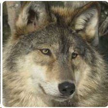 SAVE THE GRAY WOLVES, A commentary by Susi Pittman