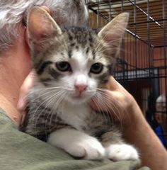 Dawn is an adoptable Tabby - White Cat in Cranford, NJ. Hi my name is Dawn I am very sweet and affectionate. I love to play and am a real purr bug. I would make a great addition to any home if you loo...