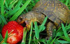 Box Turtle enjoying a snack